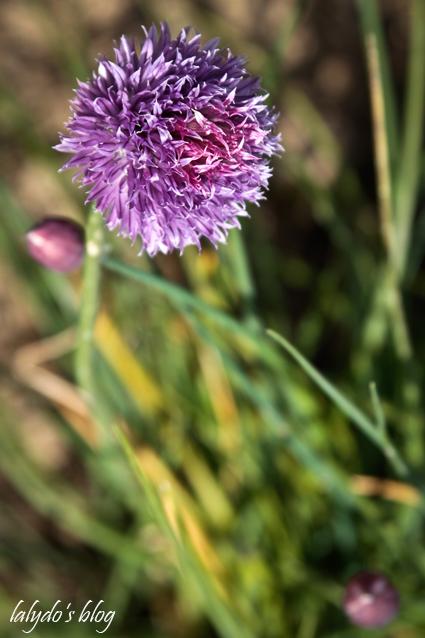fleurs-de-ciboulette