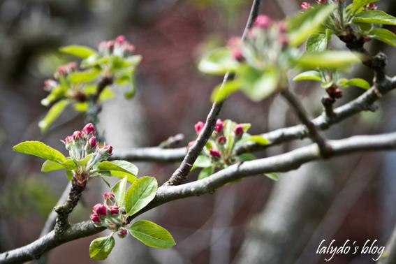 fleurs-de-pommiers-1