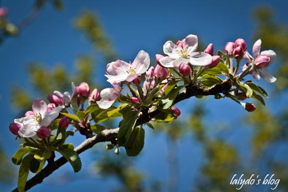 fleurs-de-pommiers-2