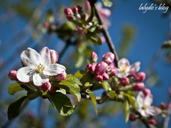 fleurs-de-pommiers-3