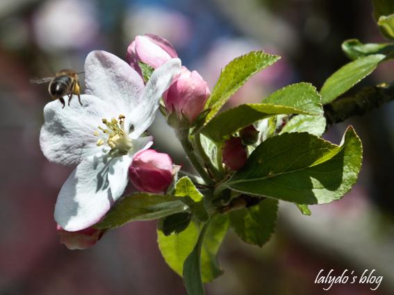 fleurs-de-pommiers-4