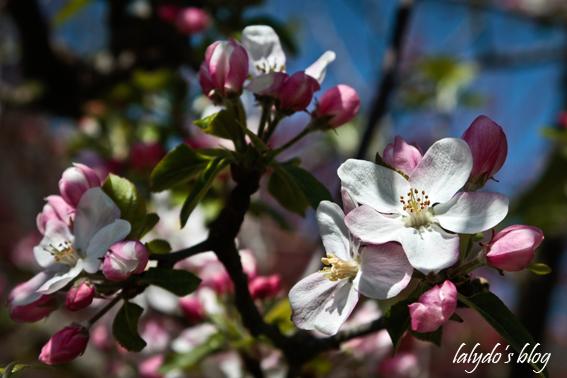 fleurs-de-pommiers-5