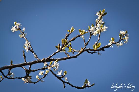 fleurs-prunier