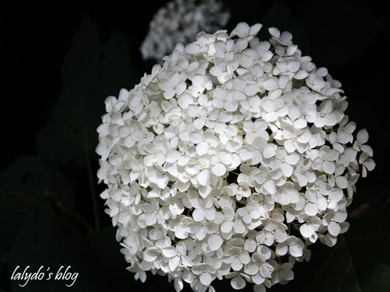 hortensia-jardins-de-la-ballue