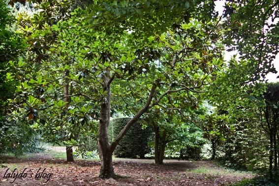 magnolia-jardins-de-la-ballue