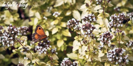 papillon-jardins-de-la-ballue