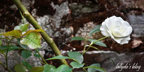 rose-jardins-de-la-ballue-2