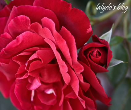 rose-jardins-de-la-ballue
