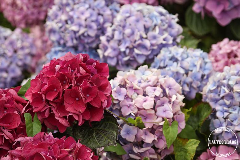 hortensia malestroit lalydo blog