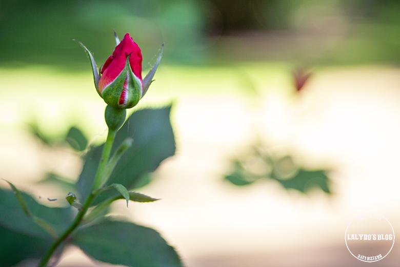Chemin des roses doue la fontaine 10