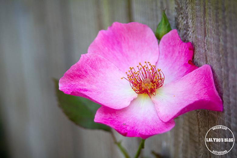 Chemin des roses doue la fontaine 12