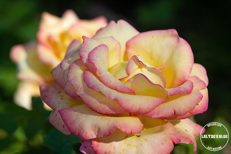 Chemin des roses doue la fontaine 13