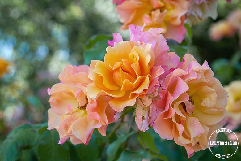 Chemin des roses doué la fontaine 15